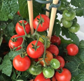 rajče tyčkové